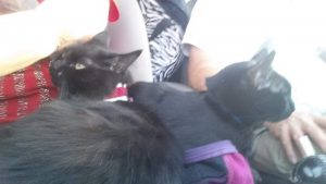 Black cats in car