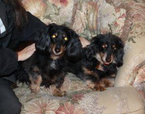 dachshund sisters